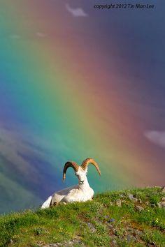Ram with rainbow