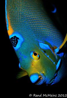 Queen Angelfish by randapex Underwater Creatures, Underwater Life, Ocean Creatures, Beautiful Sea Creatures, Animals Beautiful, Colorful Fish, Tropical Fish, Poisson Mandarin, Fish Under The Sea