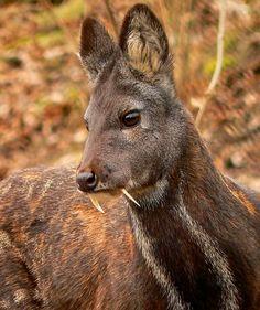 The musk deer Moschus moschiferus, captive male. Image credit: Nikolay Usik / CC BY-SA 3.0.