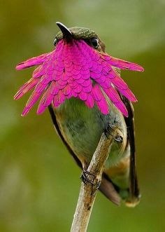 Wine Throated Hummingbird~