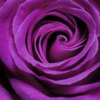 I love this, a beautiful purple rose.