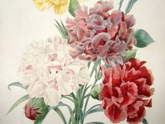 Redoute: 1827 Botanical. Bouquet of Carnations. FINE | Albion Prints