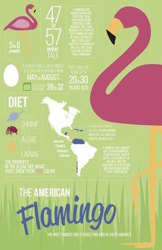 Flamingo Infographic Flamingo Facts, Flamingo Decor, Pink Flamingos, Bird Facts, Facts For Kids, Pink Bird, Animal Facts, Everything Pink, Pink Love