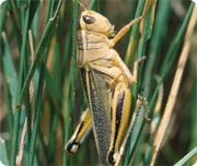 Grasshopper- avg length 1-10cm, life around 4 months.FACT: did you know grasshoppers are well known for their songs. They make these by rubbing pegs on their hind legs together, some clatter their wings together in flight, some rub their wings together and some do not make any noise at all.