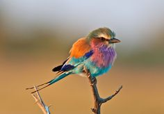 This is the Lilac-Breasted Roller Bird. - This is the Lilac-Breasted Roller Bird… oiseau multicolore Weird Birds, Rare Birds, Exotic Birds, Colorful Birds, Colorful Animals, Tropical Birds, Exotic Pets, Beautiful Creatures, Animals Beautiful