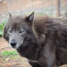 That look you give someone who asks you a stupid question; . . #wolfdog #azure