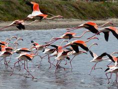 #pink #flamingos #sardinia #cagliari #molentargius #park
