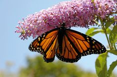 Plant en sommerfuglbusk!  http://www.fosshagesenter.no/