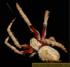 Some Sydney spiders - Where Light Meets Dark (www.wherelightmeetsdark.com)