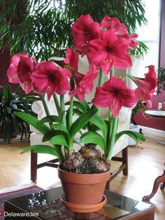 Amaryllis Plant, Amarillis, Ornamental Plants, Flower Aesthetic, Gladiolus, Cool Plants, Growing Plants, Daffodils, Garden Plants