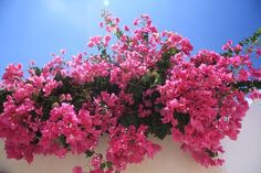 Free Image on Pixabay - Flowers, Bougainvillea, Pink Bougainvillea, Container Plants, Container Gardening, White Flowers, Beautiful Flowers, Climbing Flowers, Belle Plante, Pot Jardin, Crassula Ovata
