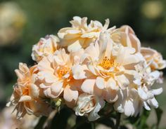 Queen of the Musks (Palatine Roses)