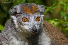 Kroonmaki vrouwtje Crowned Lemur (Female) by Brenda Passchier - Berendje Photography