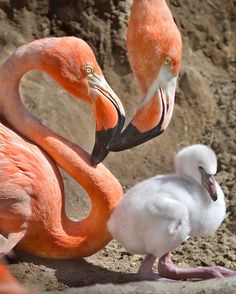 Flamingo Wallpaper, Flamingo Art, Pink Flamingos, Animals And Pets, Baby Animals, Cute Animals, Exotic Birds, Colorful Birds, Beautiful Birds