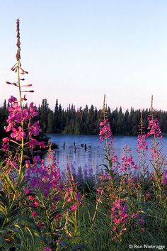 Kenai River, Kenai Peninsula, Alaska Fireweed, the flower Alaskans love to hate because it shows us how much longer is left of summer! The flowers grow up the vine and once the flowers reach the top summer is over. Champs, Beautiful World, Beautiful Places, Kenai River, Alaska The Last Frontier, Kenai Peninsula, North To Alaska, Living In Alaska, Fishing Photos