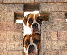 Boxer+Pictures+-+Pictures+of+Boxer+Dogs