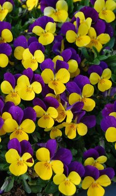 Complimentary colours yellow and purple