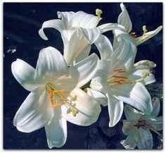 Açucena - Lilium candidum  O termo açucena designa várias espécies do gênero Lilium e Amarilis, o significado do nome açucena quer dizer singela e branca, que vem da língua tupi.  http://sergiozeiger.tumblr.com/post/115223931223/acucena-lilium-candidum-o-termo-acucena-designa  É por excelência uma planta ornamental cultivada em quase todos os jardins do mundo, é uma planta bulbosa com folhas ensiformes, lineares, considerada um dos lírios verdadeiros.  Origem : Pérsia e da Síria.  Essas…