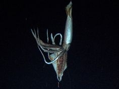 Tsunemi Kubodera caught photos of a  giant squid ,  still was taken from the  video...they are said to reach up to 50'