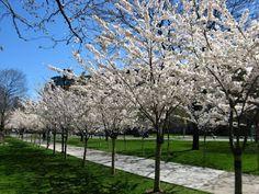 Allee of flowering Japanese cherries Prunus serrulata in bloom outside of Robarts Library University of Toronto St. George campus by garden muses: a Toronto gardening  blog