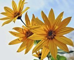 topinambur kwiatostan
