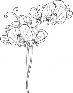 """Sweet Pea Flowers for mom. It's her birthday flower and she always calls me """"sweet pea"""""""