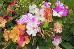 Garden Giveaway: It's Time for Four O'Clock Flowers