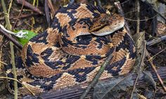SURUCUCU-PICO-DE-JACA (Lachesis muta) - Bushmaster | Flickr - Photo Sharing! Traditional Snake Tattoo, Largest Snake, Pit Viper, Cute Snake, Snake Venom, Beautiful Snakes, Reptiles And Amphibians, Beautiful Creatures, Animals And Pets