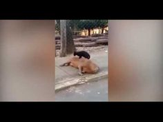(CATS/FUNNY ANIMAL VIDEOS) This odd pair was recently spotted near a university campus in Mato Grosso, Brazil. The capybara (a large rodent) just loves getting massages from a local stray cat. There really is a first for everything! — Global Animal Love animals? You may be interested in –