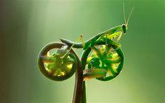Incredible photo of a Praying Mantis riding a bike