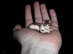 "worlds smallest cat | Caption: ""World's Smallest Cat weighs only three pounds"" Source: http ..."