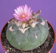 Young Lophophora williamsii var. jourdaniana in 6,5 cm pot