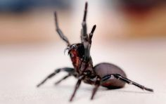 funnel web spider... deadly