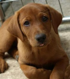 Big Dog Ranch: Fox Red Labrador Retriever Puppy... Wonderful dogs. Have one I delivered from nextdoor. 8 hours worth of waiting and then there she was. My little red girl is almost 5 now and she still thinks she's a pup.