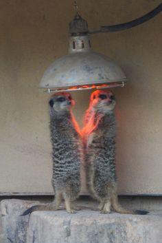 Cold meerkats at London zoo