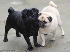 The blind pug, Elly, is on the right. Her sighted pug friend Franky is always at her side to make sure she doesn't get lost.