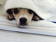 Chihuahua - I'm not coming out from under the covers.