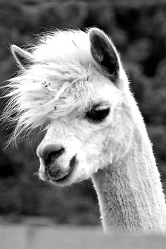 alpaca in black and white Farm Animals, Animals And Pets, Funny Animals, Cute Animals, Smiling Animals, Alpacas, Baby Llama, Cute Llama, Beautiful Creatures