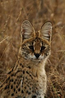 """The serval, known in Afrikaans as Tierboskat, """"tiger-forest-cat"""", is a medium-sized African wild cat. Gatos Serval, Serval Cats, Gatos Cats, Caracal, Crazy Cats, Big Cats, Cool Cats, Cats And Kittens, Cats Bus"""