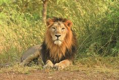 25 Under 25: Young Environmental Activists - Instagram पोस्ट National Animal, National Parks, Lion Kingdom, Gir Forest, Asiatic Lion, Forest And Wildlife, Clouded Leopard, Disney Lion King, Animales