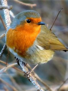 Robin A robin by the River Tay in Dunkeld. Photo by Eric Niven from Dundee.