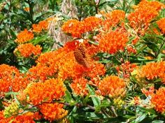 Florida native plants | butterfly milkweed, a florida native plant to attract hummingbirds