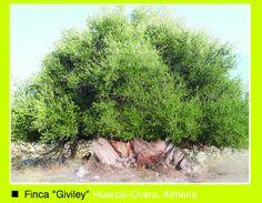 """Finca Giviley. La mejor aceituna, para el mejor aceite de Oliva virgen Extra """"Arbequina"""". www.oleoalmanzora.com"""