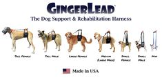 The GingerLead Dog Support & Rehabilitation Harness is a premium belly sling with a leash & handle to help dogs with weak hind legs walk. It's ideal for aging or disabled dogs needing some assistance with their balance or mobility, dogs suffering from arthritis, degenerative myelopathy or other debilitating conditions, or dogs recovering from knee, hip or back injuries. GingerLeads are available in male and female slings for toy to giant breed dogs.