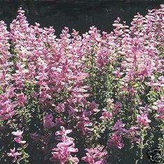 Salvia Horminum Pink Sunday