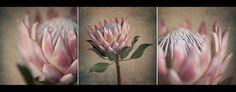Ice Pink•King Proteas Protea Art, Protea Flower, Flowers, Flower Photos, String Art, Diy Art, Flower Art, Pretty In Pink, Art Projects