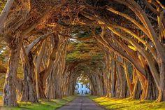 22 cativantes túneis que parecem querer transportá-lo para uma dimensão majestosa. Árvores de Cypress na Estação Marconi Wireless, Califórnia.