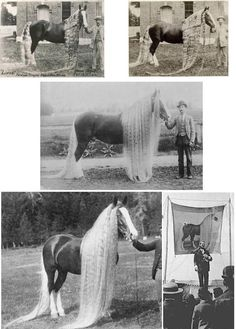 There were, in the late 1800's wild horses still roaming Oregon state in the USA, and they were prized for their exceptionally good looks and long manes, hence their being referred to as the 'Oregon Wild Long-haired Wonder Horses. READ MORE: http://www.messybeast.com/history/horses.htm –