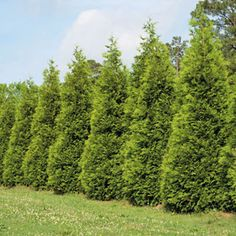 Steeplechase Thuja Evergreen Tree - An improvement over the popular 'Green Giant', with even more dense foliage. Garden Bugs, Garden Trees, Evergreen Trees, Trees And Shrubs, Green Giant Arborvitae, Landscape Design, Garden Design, Shrubs For Landscaping, Garden Spells