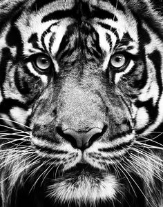 Tiger  Jeff Milsteen Photos - The Southeastern Photographic Society Meetup (Atlanta, GA) - Meetup